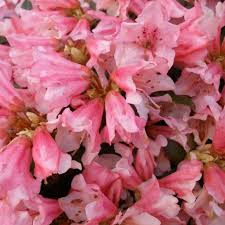 Rhododendron (Keiskei Group) 'Wee Bee'/Рододендрон
