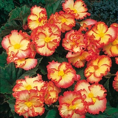 "Бегония Picotee ""Crispa Marginata Yellow & Red"" (1х2шт)10"