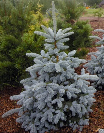 "Ель колючая ""Blue Mountain""/Picea pungens"