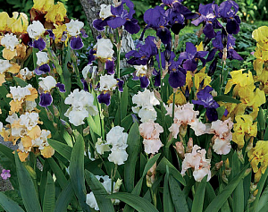 "Ирис коллекция ""Iris Germanica Border"" (1х3шт)15"