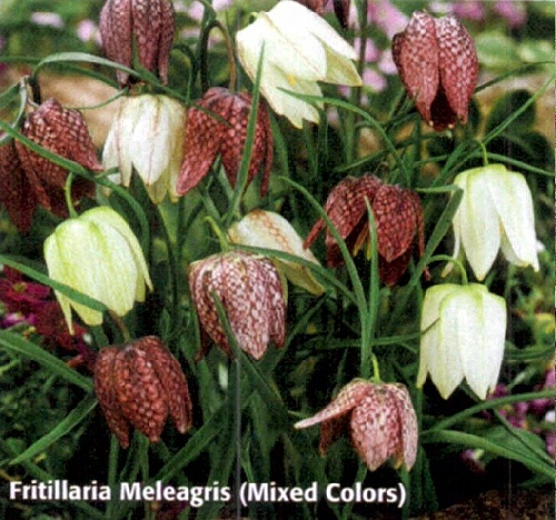 "Фритиллярия ""Meleagris (Mixed Colors)"" (1х15шт)15"